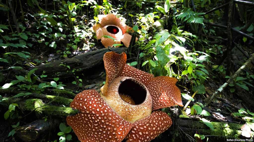 Rafflesia preservation